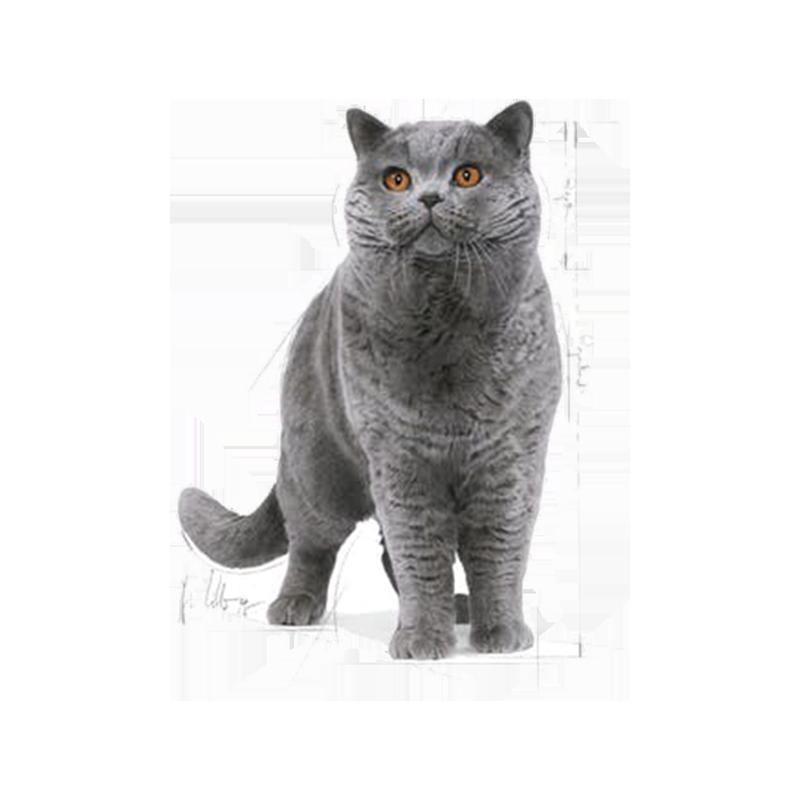 عکس تبلیغاتی بسته غذای خشک و تر گربه رویال کنین مدل Adult British ShortHair